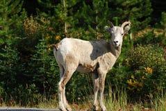 Grandi pecore del corno Immagine Stock Libera da Diritti