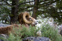 Grandi pecore del corno (canadensis del Ovis) Fotografia Stock