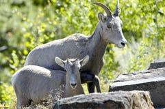Grandi pecore del corno del bambino e della madre Immagine Stock Libera da Diritti