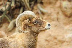 Grandi pecore del corno del deserto fotografie stock