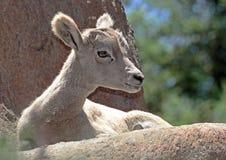 Grandi pecore del corno del deserto Fotografia Stock