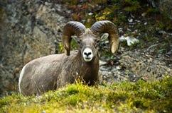 Grandi pecore del corno della ram Fotografia Stock Libera da Diritti