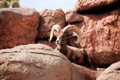 Grandi pecore del corno di Dsert Fotografie Stock Libere da Diritti