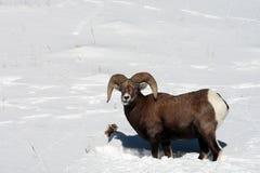Grandi pecore del corno in neve Fotografia Stock Libera da Diritti