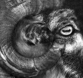 Grandi pecore del corno Ram delle pecore del Big Horn che esamina un bordo a Fotografie Stock