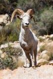 Grandi pecore della ram del corno del deserto Fotografie Stock