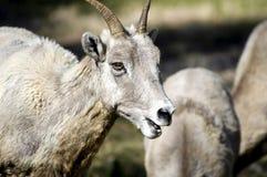 Grandi pecore femminili del corno Immagine Stock Libera da Diritti