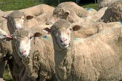 Grandi pecore merino Immagini Stock Libere da Diritti