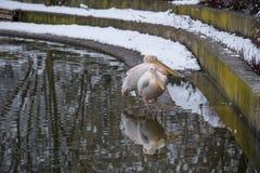 Grandi pellicani bianchi Fotografie Stock Libere da Diritti