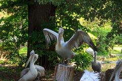 Grandi pellicani bianchi fra gli alberi Immagine Stock Libera da Diritti