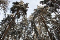 Grandi pini nella foresta di inverno in Russia Fotografie Stock