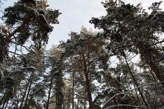 Grandi pini nella foresta di inverno in Russia Immagini Stock Libere da Diritti