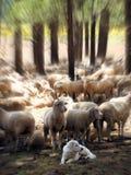 Grandi Pirenei custodicono le sue pecore con effetto focale dello zoom immagine stock