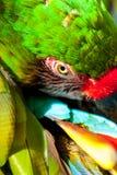 Grandi piume verdi governare del pappagallo dell'ara fotografie stock libere da diritti
