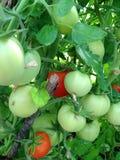 Grandi pomodori sul cespuglio Fotografia Stock
