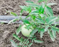 Grandi pomodori verdi che crescono all'azienda agricola organica a Washington, U.S.A. Fotografia Stock Libera da Diritti