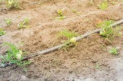 Grandi pomodori verdi che crescono all'azienda agricola organica a Washington, U.S.A. Immagine Stock Libera da Diritti