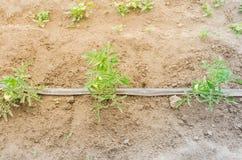 Grandi pomodori verdi che crescono all'azienda agricola organica a Washington, U.S.A. Immagine Stock