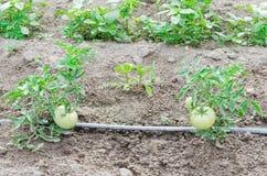Grandi pomodori verdi che crescono all'azienda agricola organica a Washington, U.S.A. Fotografia Stock