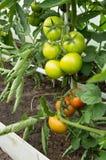Grandi pomodori verdi che crescono sui rami - sviluppi in una serra Immagini Stock Libere da Diritti