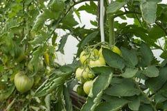 Grandi pomodori verdi che crescono sui rami - sviluppi in una serra Fotografia Stock Libera da Diritti