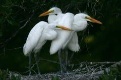Grandi pulcini bianchi del egret Immagine Stock