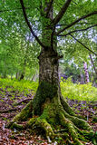 Grandi radici degli alberi con muschio Fotografia Stock