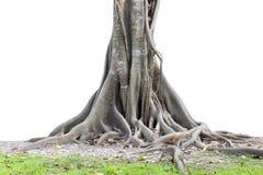 Grandi radici dell'albero che spargono fuori bello e tronco isolato sul whi immagini stock