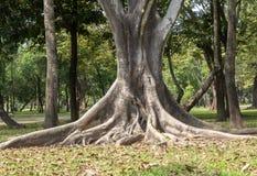 Grandi radici dell'albero che spargono fuori bello nei tropici Il conce immagini stock libere da diritti
