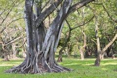 Grandi radici dell'albero che spargono fuori bello nei tropici Il conce fotografia stock
