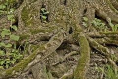 Grandi radici dell'albero con muschio Immagine Stock