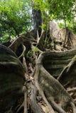 Grandi radici dell'albero di fico Immagine Stock