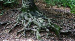 Grandi radici di un albero fotografia stock