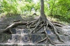 Grandi radici di vecchio albero sulle pietre Bellezza in natura immagini stock