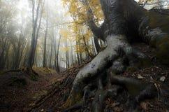 Grandi radici in foresta incantata magica con nebbia Fotografia Stock