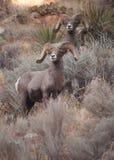 Grandi re cornuti delle pecore del deserto Immagini Stock Libere da Diritti