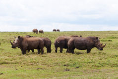 Grandi rinoceronti in Africa Fotografia Stock Libera da Diritti