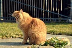 Grandi sbadigli del gatto dello zenzero Fotografia Stock