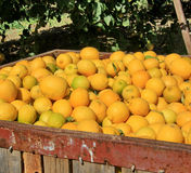 Grandi scatole riempite di limoni Immagine Stock