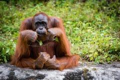 Grandi scimmie dell'orangutan Immagini Stock