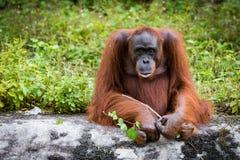 Grandi scimmie dell'orangutan Fotografia Stock