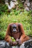 Grandi scimmie dell'orangutan Fotografie Stock Libere da Diritti