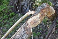 Grandi segni dei denti del castoro di Parigi Ontario del fiume in legno fotografia stock