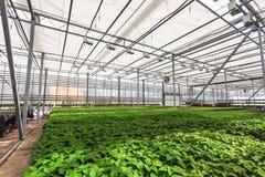 Grandi semi moderni della serra, di coltivazione e di crescita delle piante ornamentali, scuola materna del fiore dentro l'intern Immagini Stock
