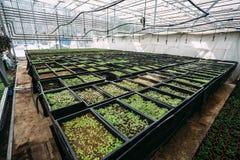 Grandi semi moderni della serra, di coltivazione e di crescita delle piante ornamentali, scuola materna del fiore dentro l'intern Fotografie Stock Libere da Diritti