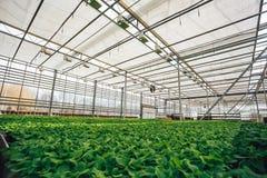 Grandi semi moderni della serra, di coltivazione e di crescita delle piante ornamentali, scuola materna del fiore dentro l'intern Fotografia Stock