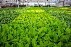 Grandi semi moderni della serra o della serra, di coltivazione e di crescita delle piante ornamentali, scuola materna del fiore d Fotografie Stock Libere da Diritti