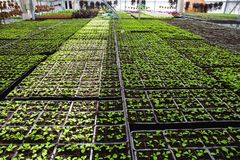 Grandi semi moderni della serra o della serra, di coltivazione e di crescita delle piante ornamentali, scuola materna del fiore d Fotografia Stock