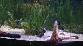 Grandi stelle marine rosse che strisciano sull'acquario della parete di vetro stock footage