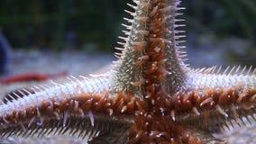 Grandi stelle marine rosse che strisciano sull'acquario della parete di vetro archivi video